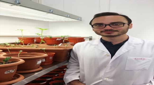 Yüzde 100 saf ayçiçeği tohumu geliştirdi